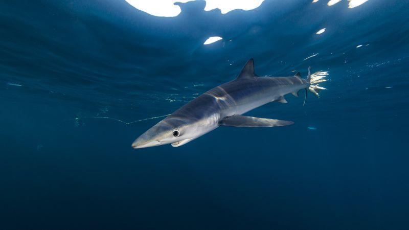 Tiburones cantábrico