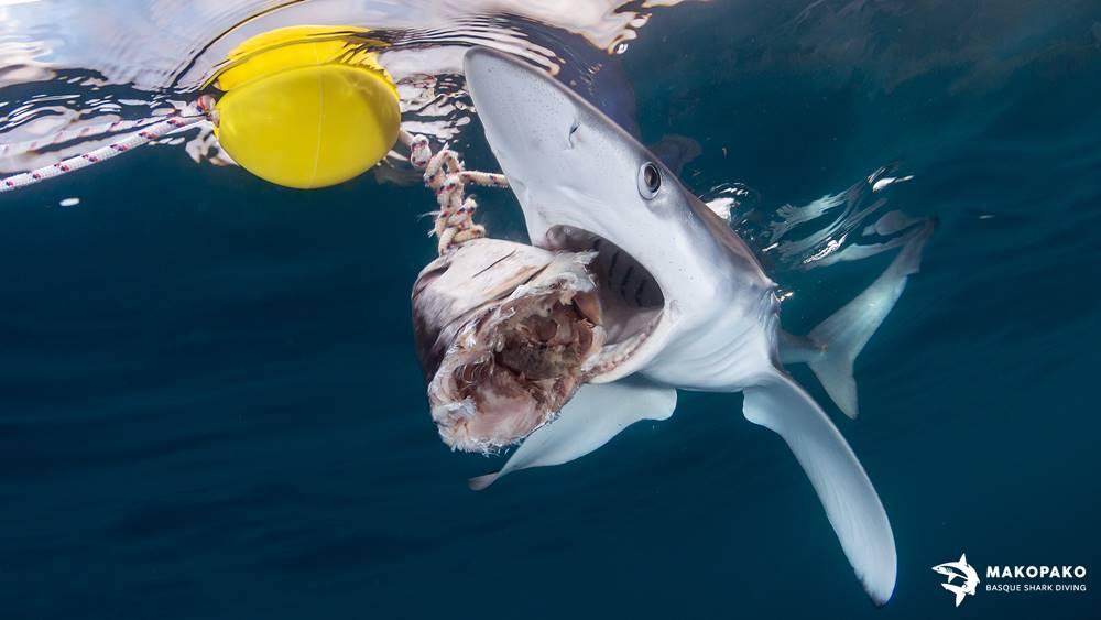 Snorkel con tiburones en Bermeo