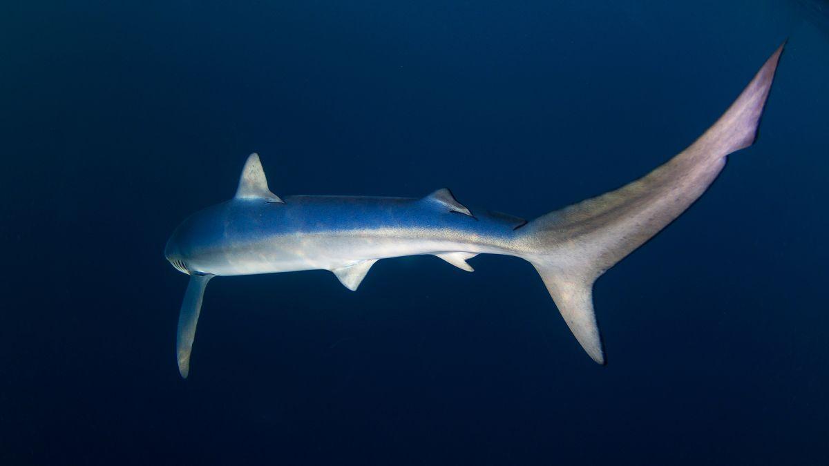tiburones-bermeo