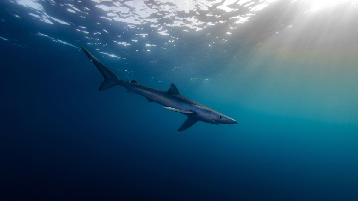 tiburones-cantabrico