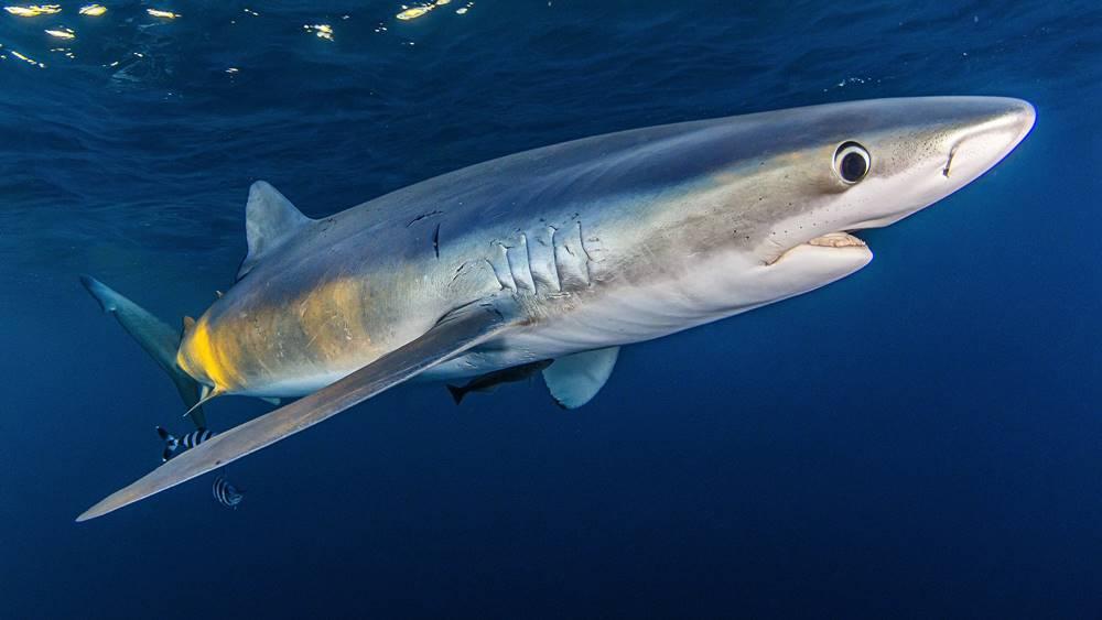 Mako Pako tiburones en el cantábrico