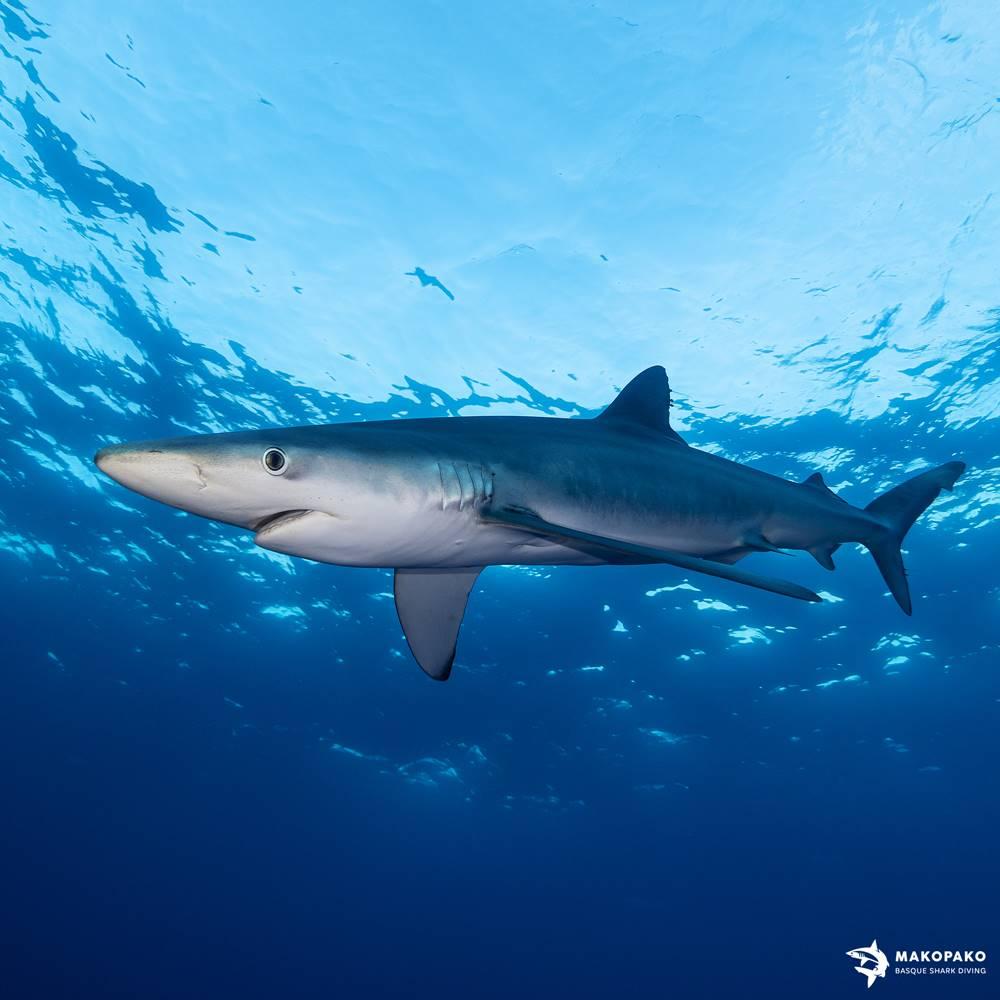 Tiburón Azul Mako Pako