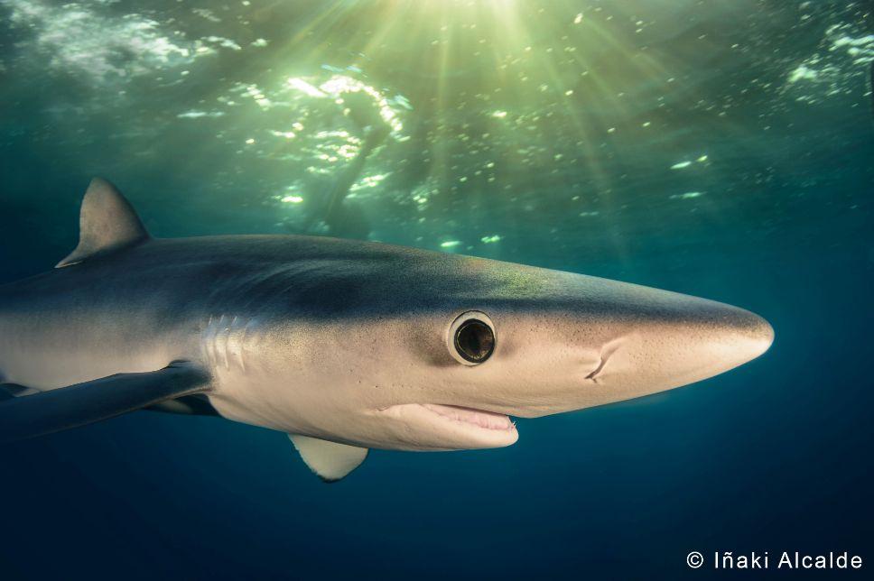 BLUE SHARK PHOTO CONTEST
